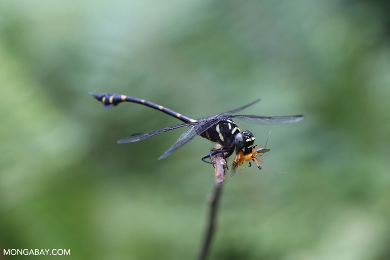 Black dragonfly eating an assassin bug