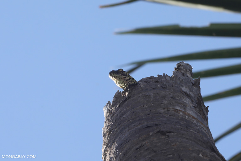 Baby Komodo dragon atop a tree