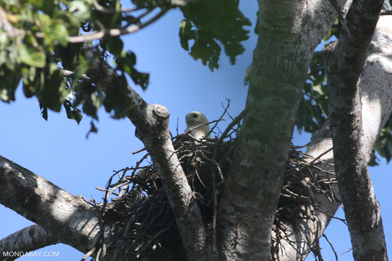 Fish eagle in its nest