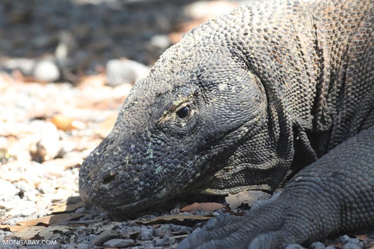 Adult female Komodo dragon