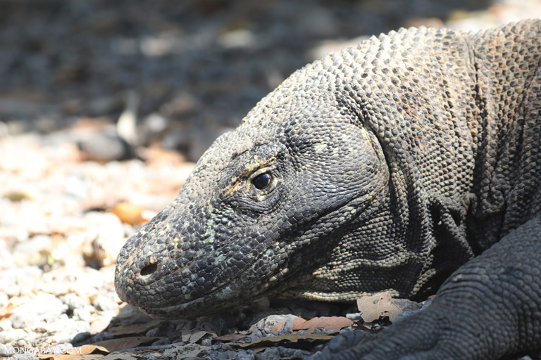 Adult female Komodo dragon