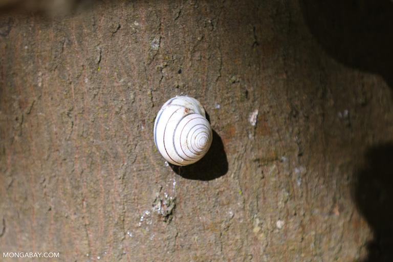 Komodo snail