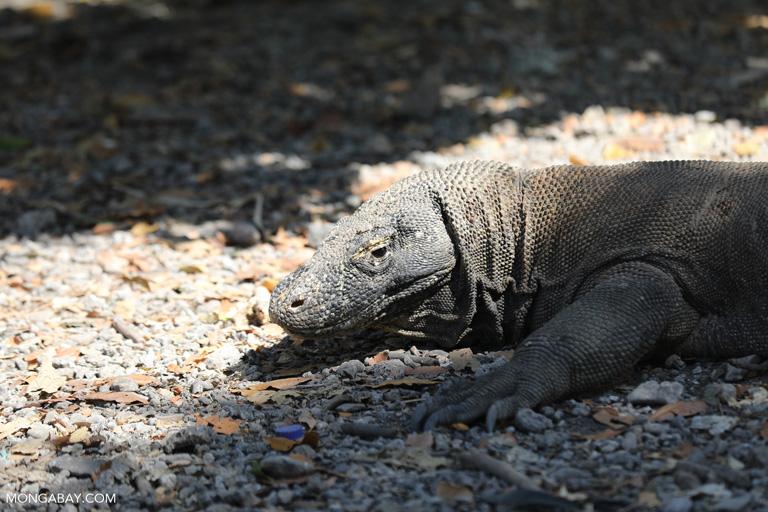 Female Komodo dragon