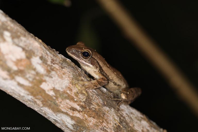 Frog in Labuan Bajo