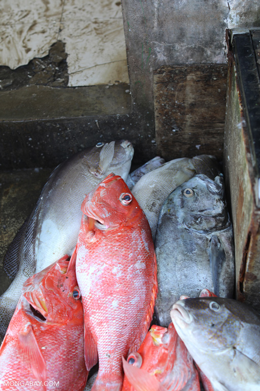 Red snappers in the fish market in Labuan Bajo