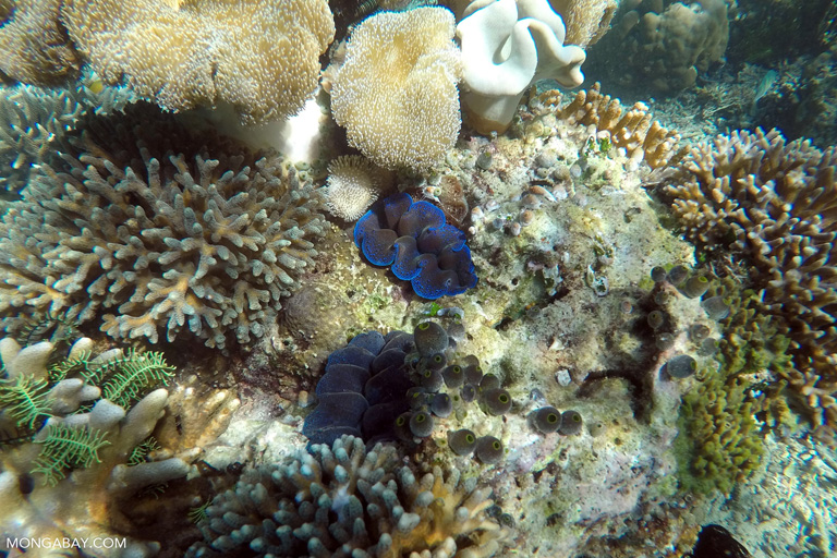 Purple-lipped giant clam