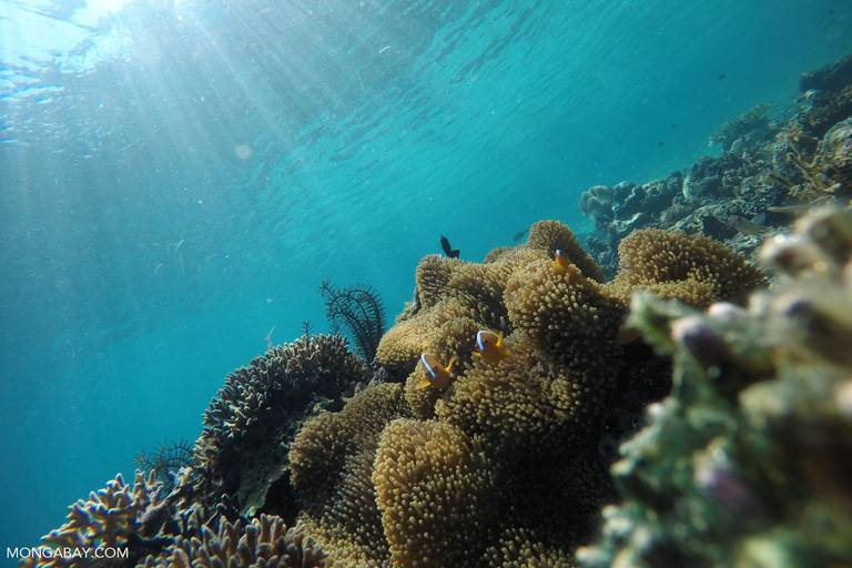 Anomones and clownfish on a reef near Komodo