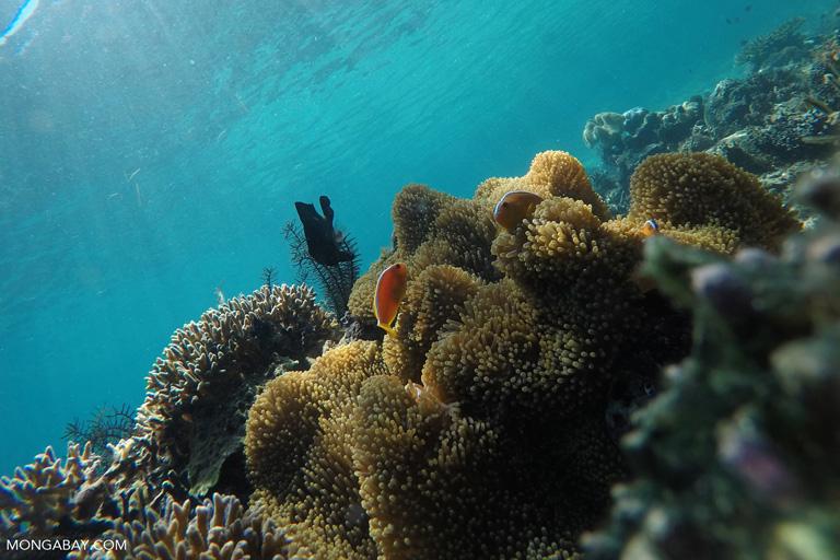 Anomones and clownfish on a reef near Komodo