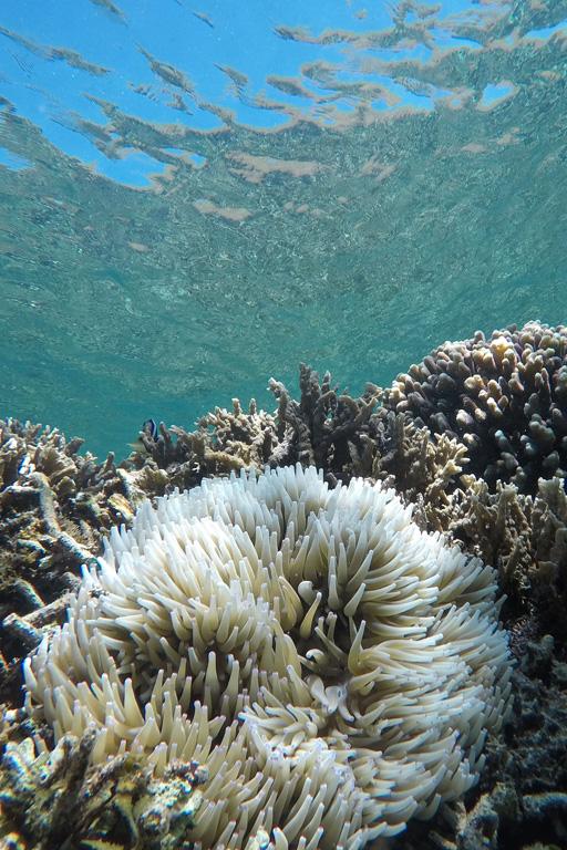 Sea anomones in Komodo