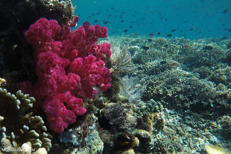 Magenta soft coral
