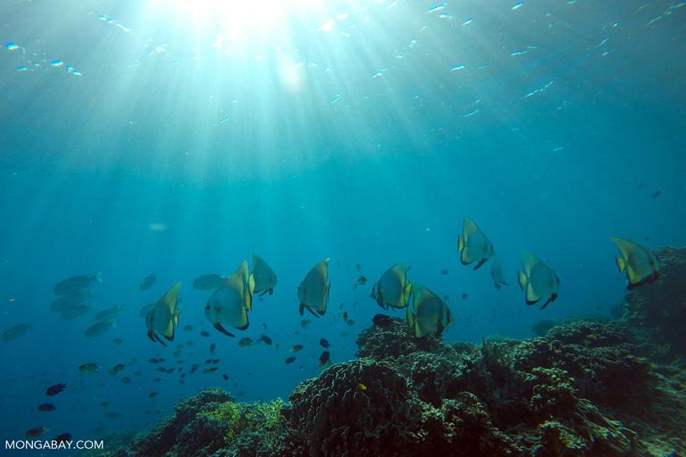 Orbicular batfish in Komodo
