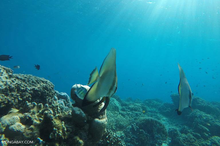 Batfish in Komodo