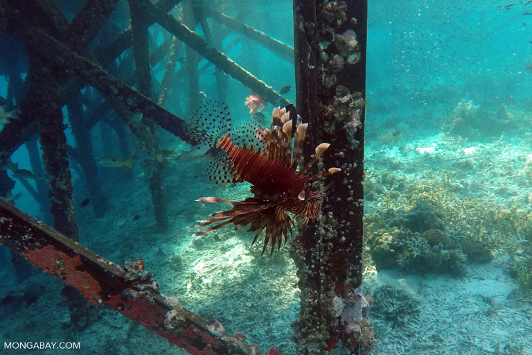 Lionfish is Indonesia