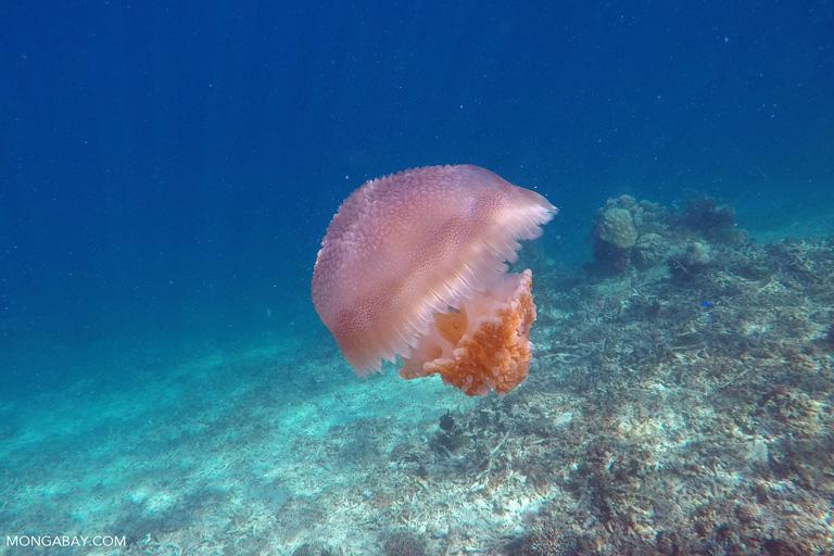 Jellyfish in the Komodo Sea