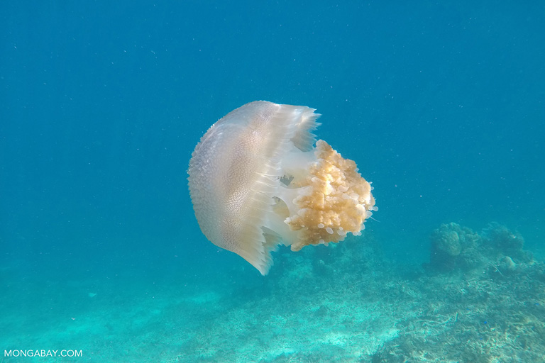 Jellyfish in the Komodo Sea