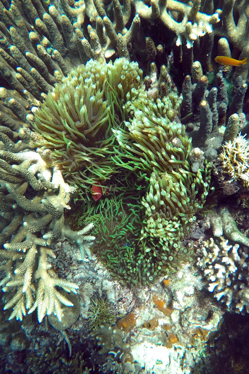 Red clownfish in a green sea anemone