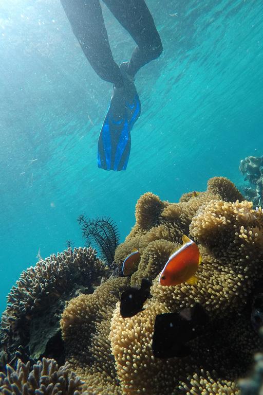 Clown fish and sea anemones
