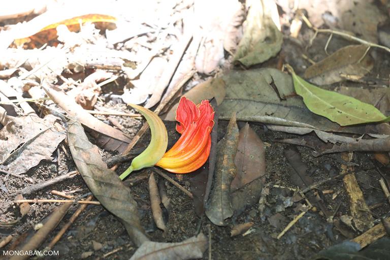 Wild orange hibiscis