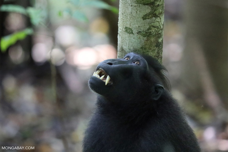 Black macaque showing its fangs