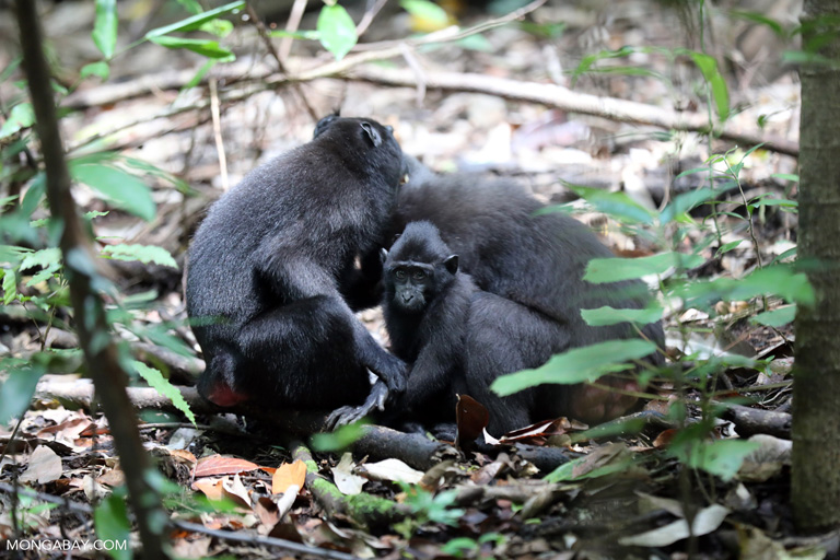 Crested black macaques grooming