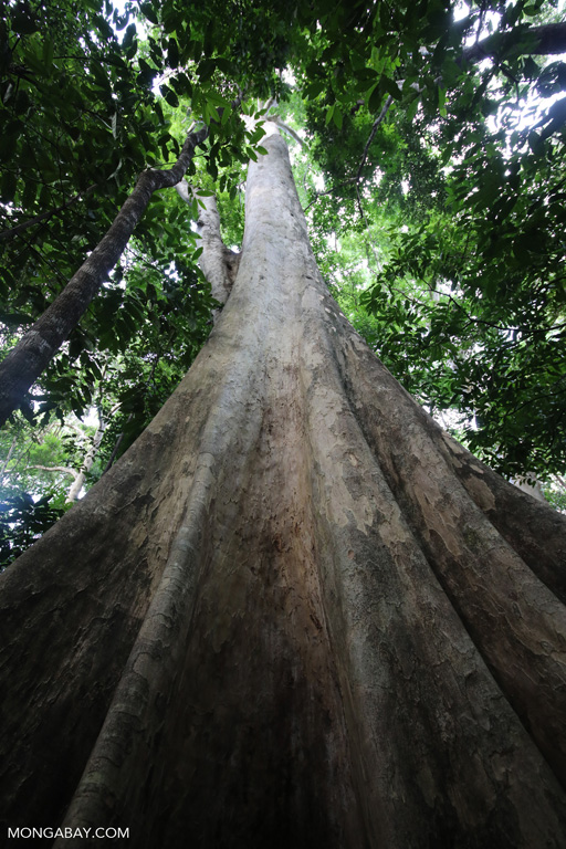 Looking up the trunk of a rainforest tree