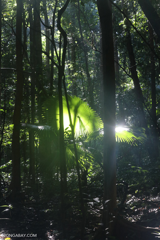 Sulawesi understory