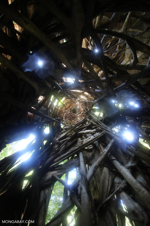 Looking up the inside of a strangler fig