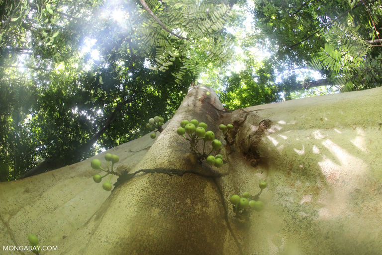 Figs in Sulawesi's rainforest