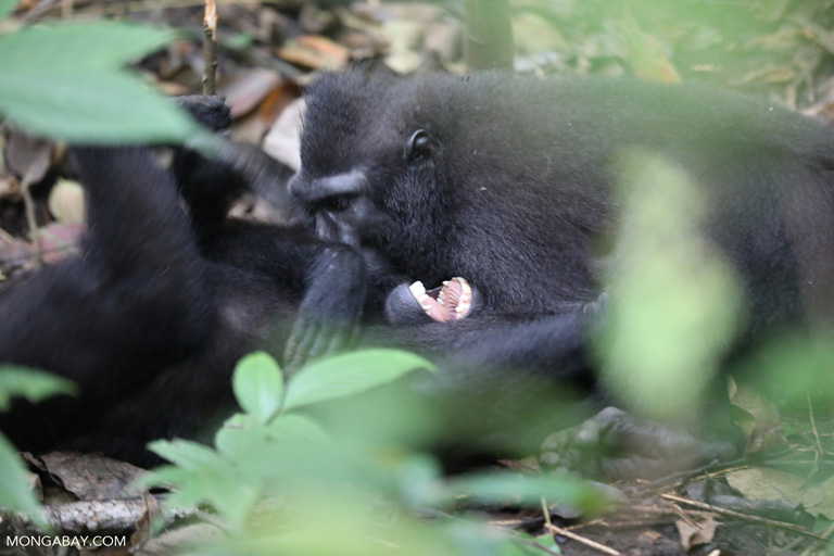 Black macaques grooming