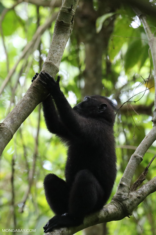 Young blacked crested macaque