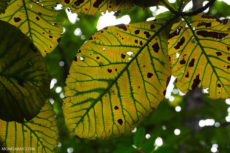 Teak leaves