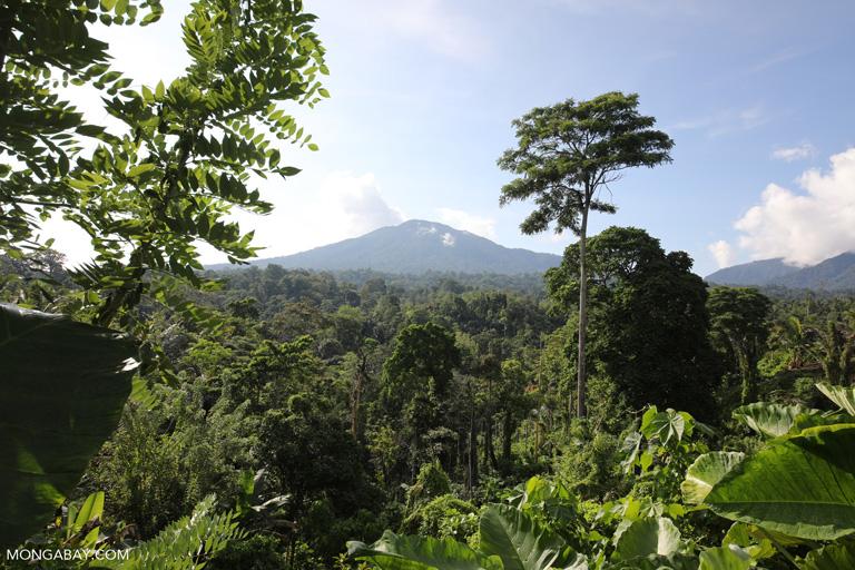 Coconut plantation aside forest below Dua Saudara Mountain