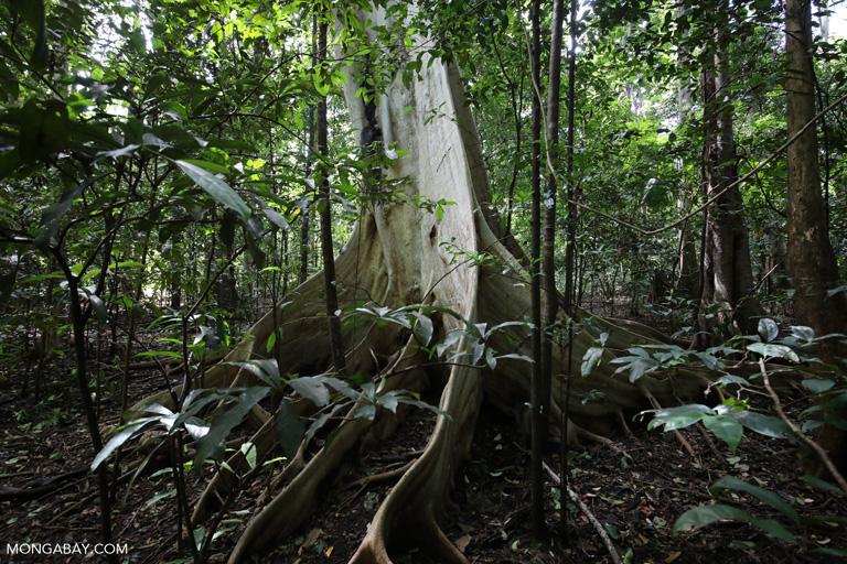 Sulawesi rainforest tree