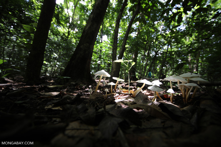 White mushrooms in the rainforest