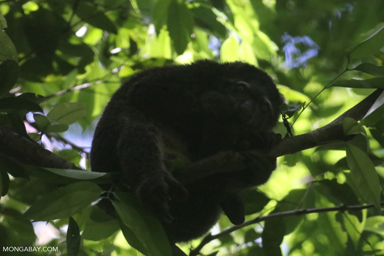 Sulawesi bear phalanger (Ailurops ursinus)