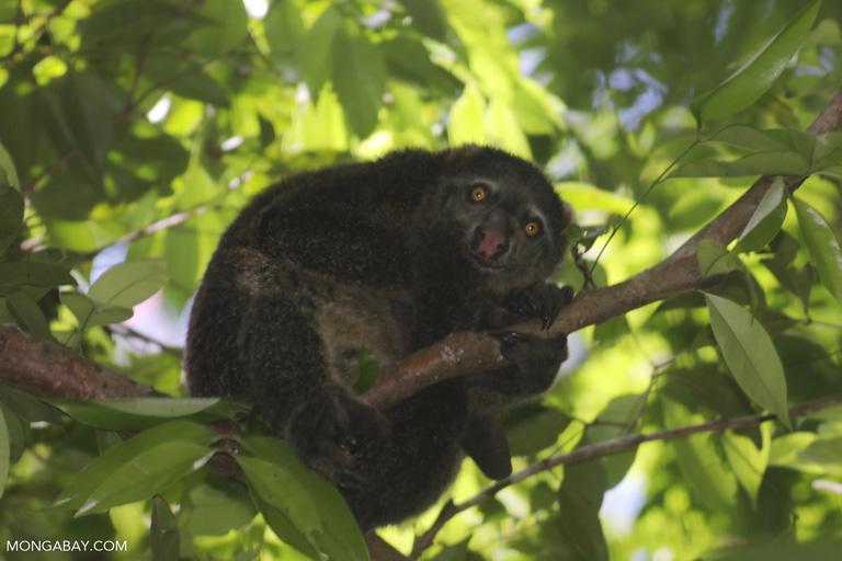 Sulawesi bear phalanger