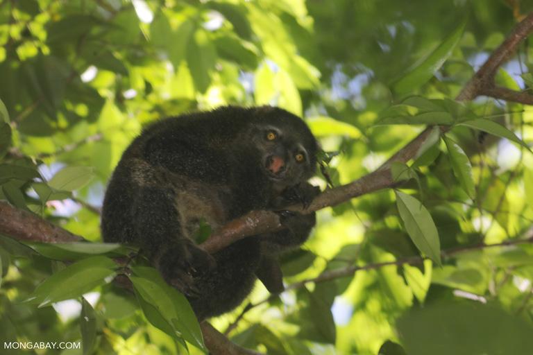 Sulawesi bear cuscus (Ailurops ursinus)