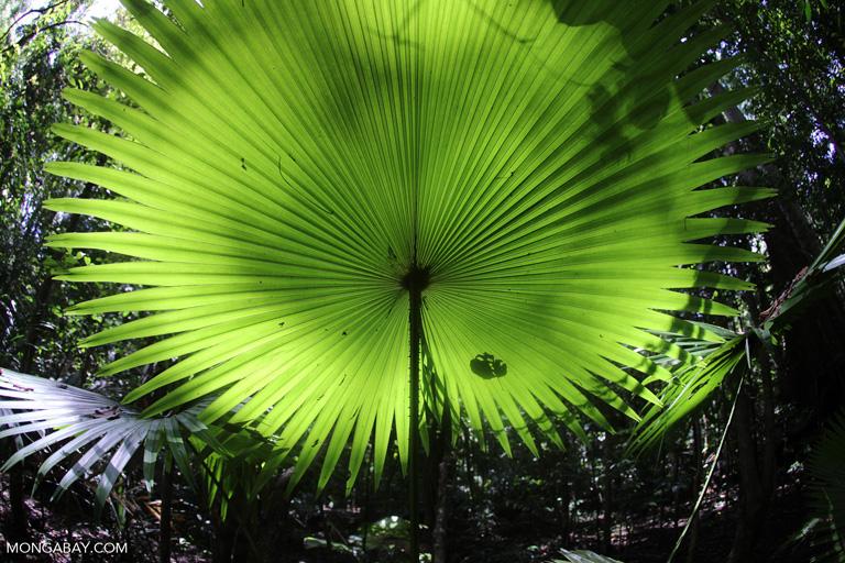 Umbrella plant in Sulawesi