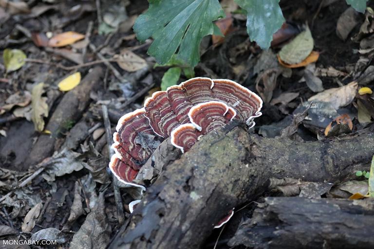 Brown fungi