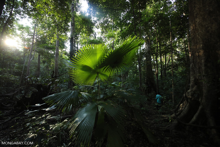 Umbrella palm
