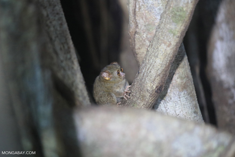 Spectral tarsier in Sulawesi
