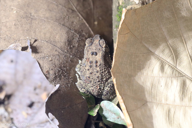 Sulawesi forest toad