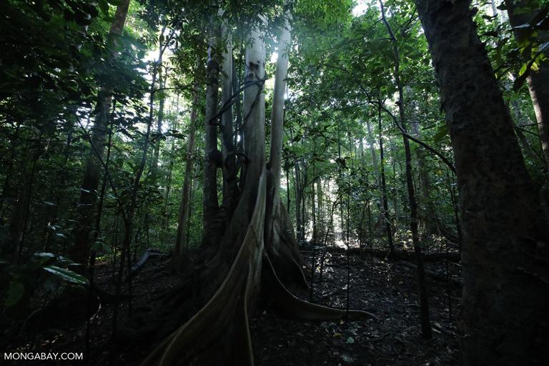 Sulawesi rainforest