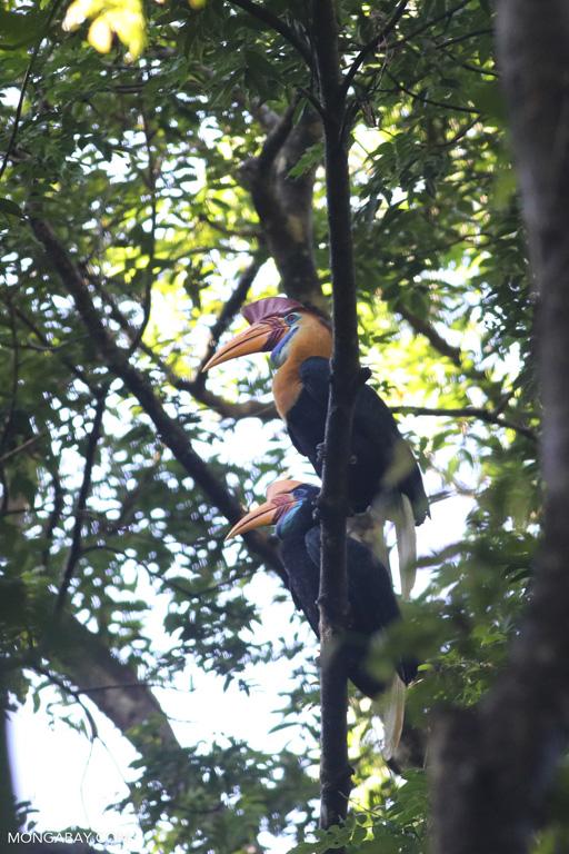 Pair of Sulawesi wrinkled hornbills