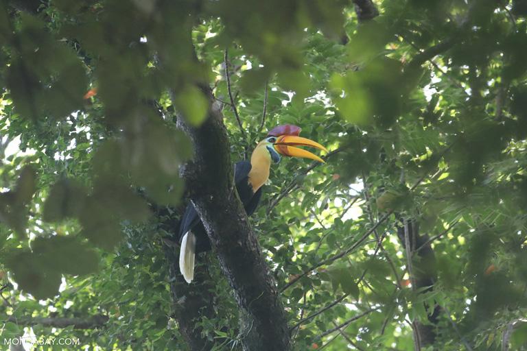 Male Sulawesi wrinkled hornbill