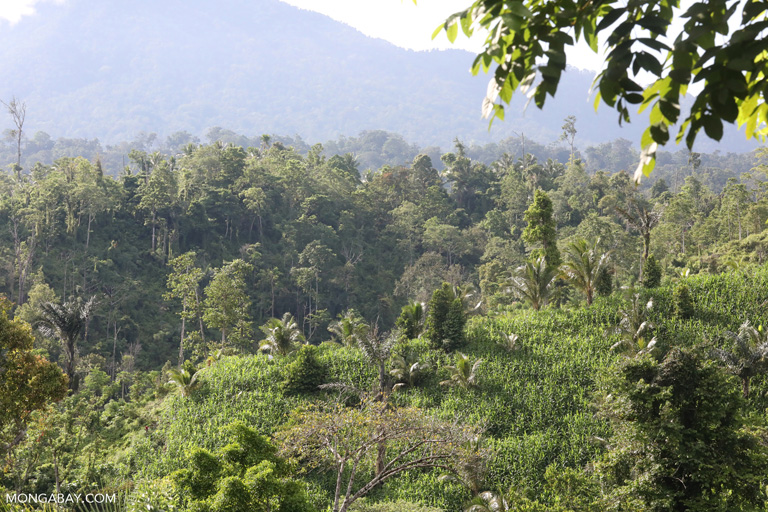 Corn and rainforest in Sulawesi