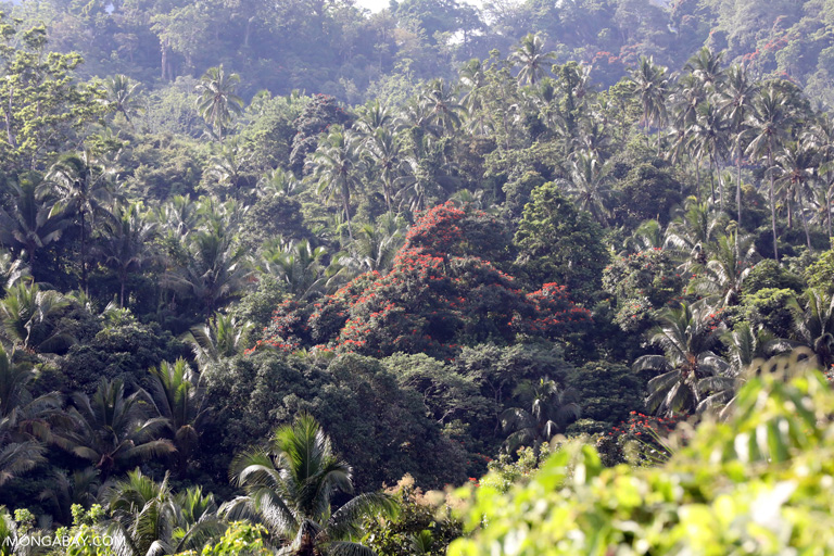 Tulip trees and coconuts in Sulawesi