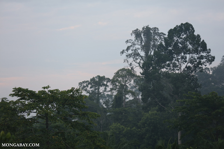 Rainforest trees in Sabah