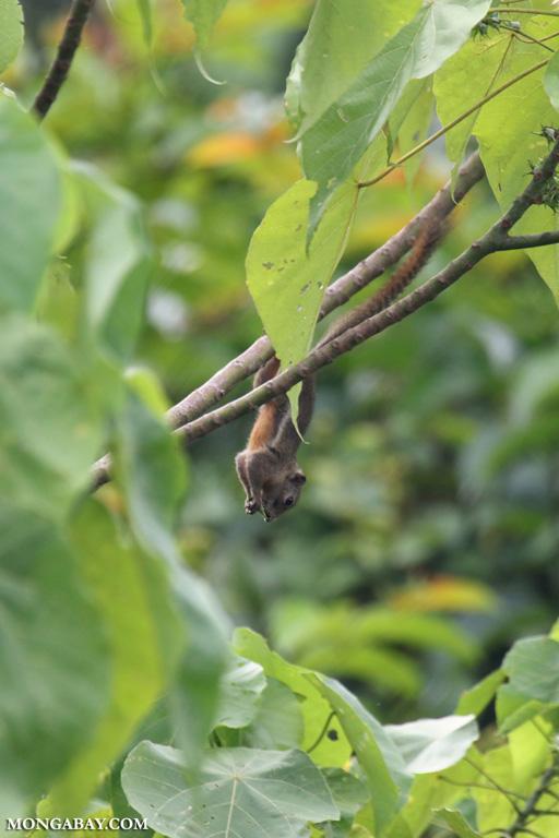 Bornean squirrel