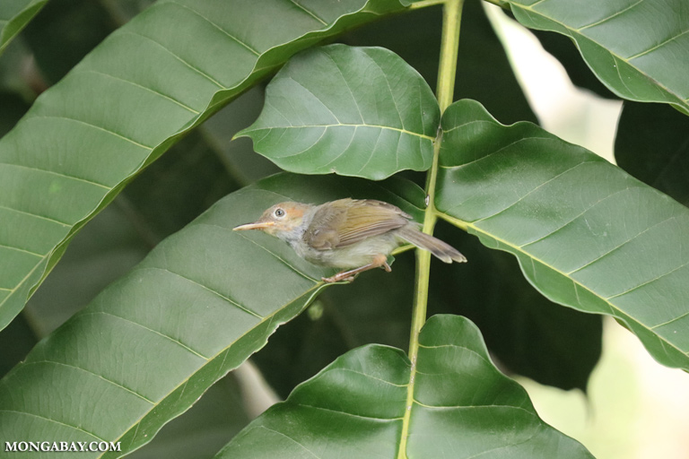 Red-headed tailorbird (Orthotomus ruficeps)
